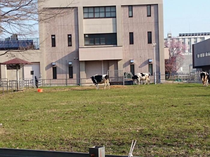 北海道大学の牛さん