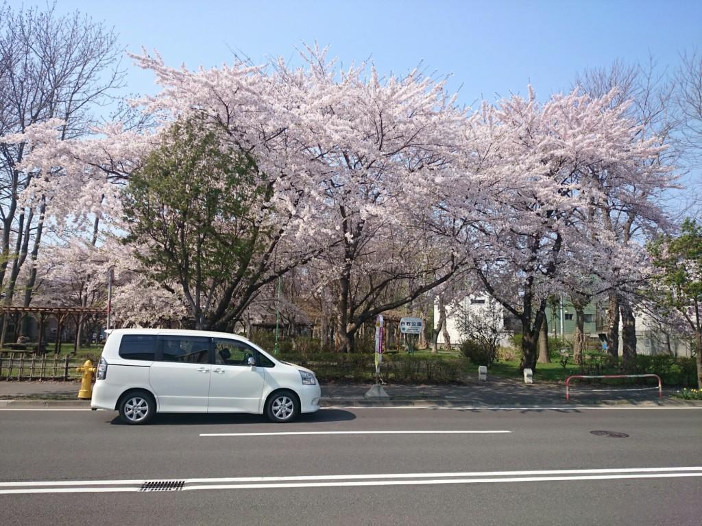 白石公園の桜