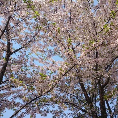 サッポロビール園の桜