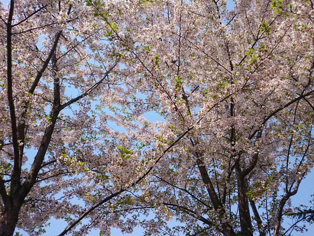 アリオの桜