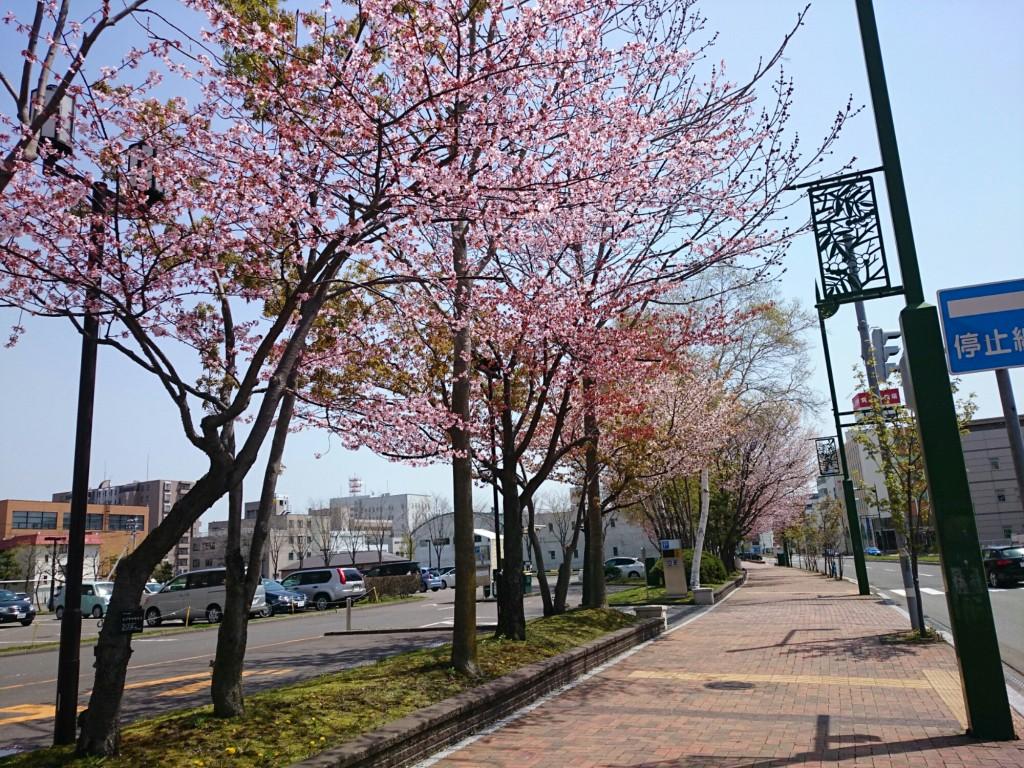 苫小牧グリーンホテルの桜並木