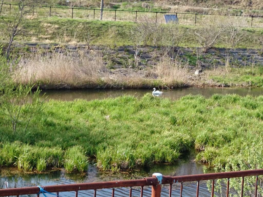 苫小牧川の白鳥