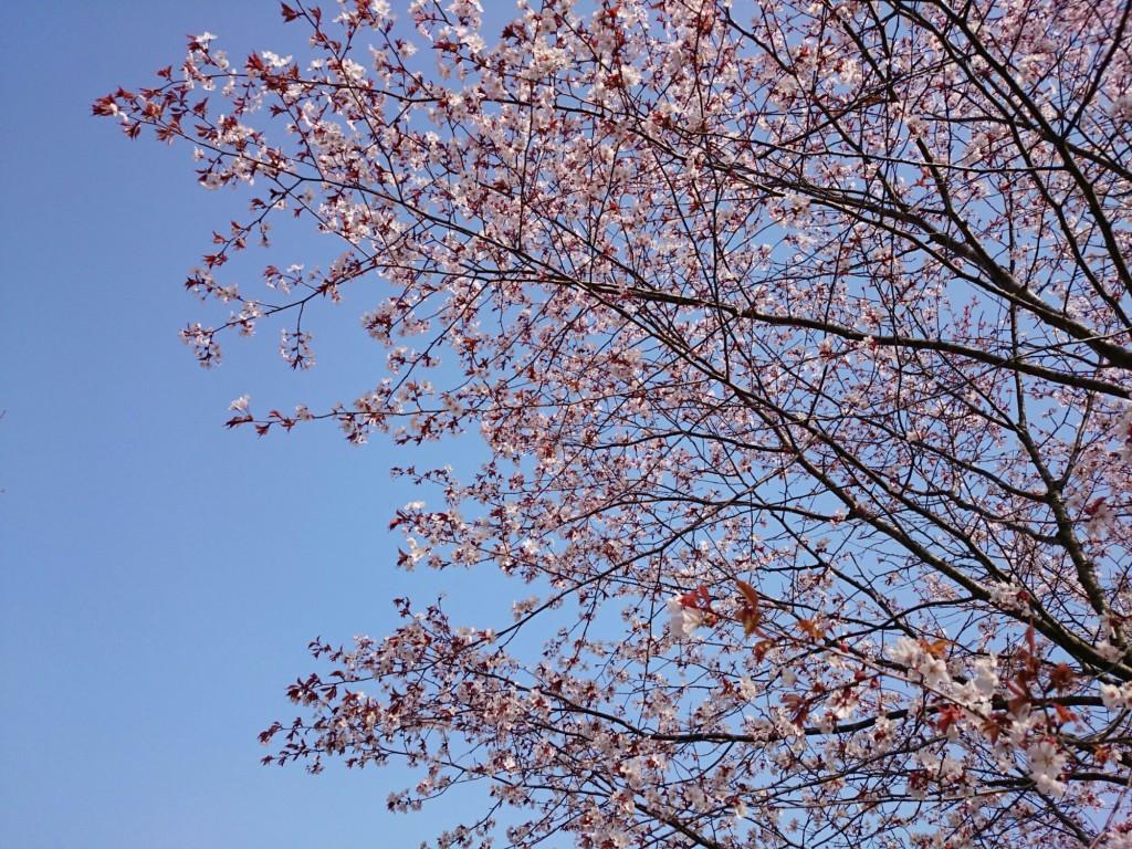 金太郎池の桜